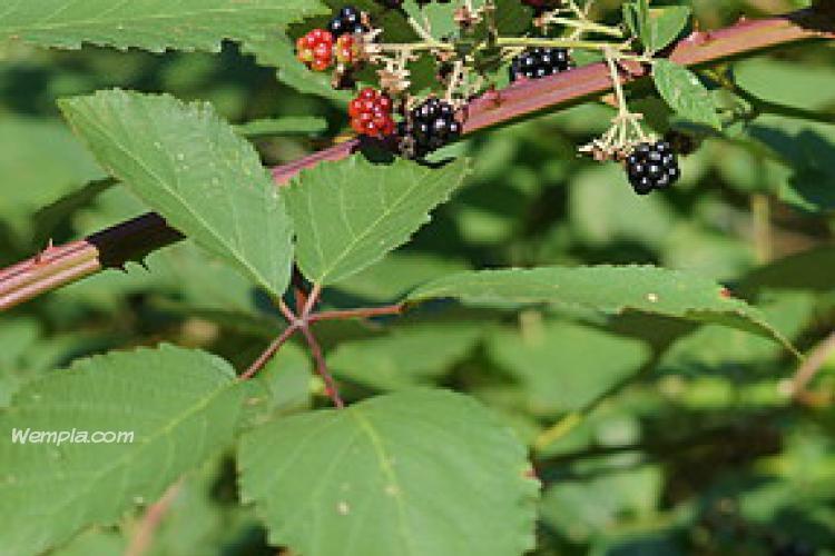 Blackberry (Rubus fruticosus)