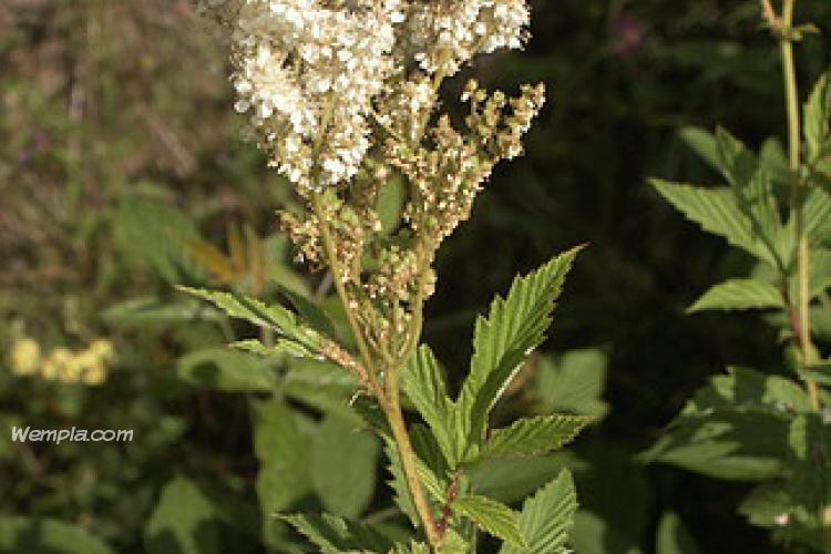 Réti legyezőfű (Filipendula ulmaria)