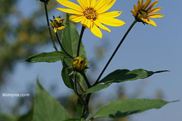 Csicsóka (Helianthus tuberosus)