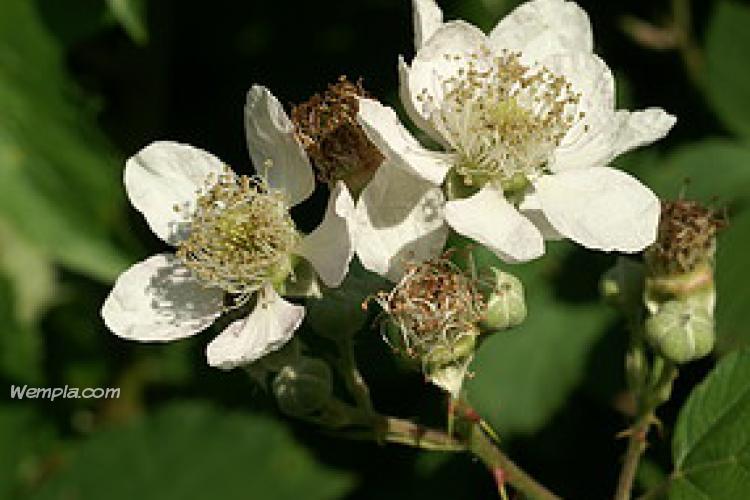 Vadszeder (Rubus fruticosus)