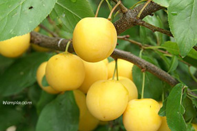 Cherry plum (Prunus cerasifera)
